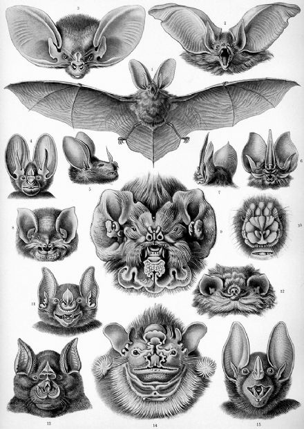 Haeckel Chiroptera, Different Bat Species Print/Poster (4879)